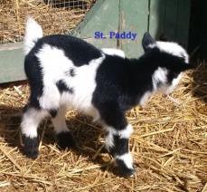 Paddy NB 3